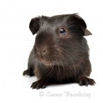Dusty's Baby - Self Chocolate Guinea Pig